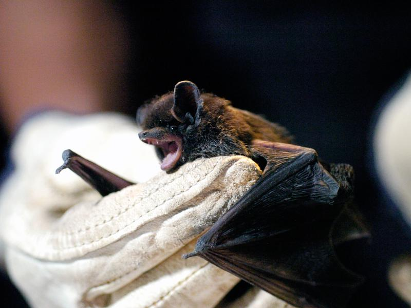 Bat Removal and Bat Control